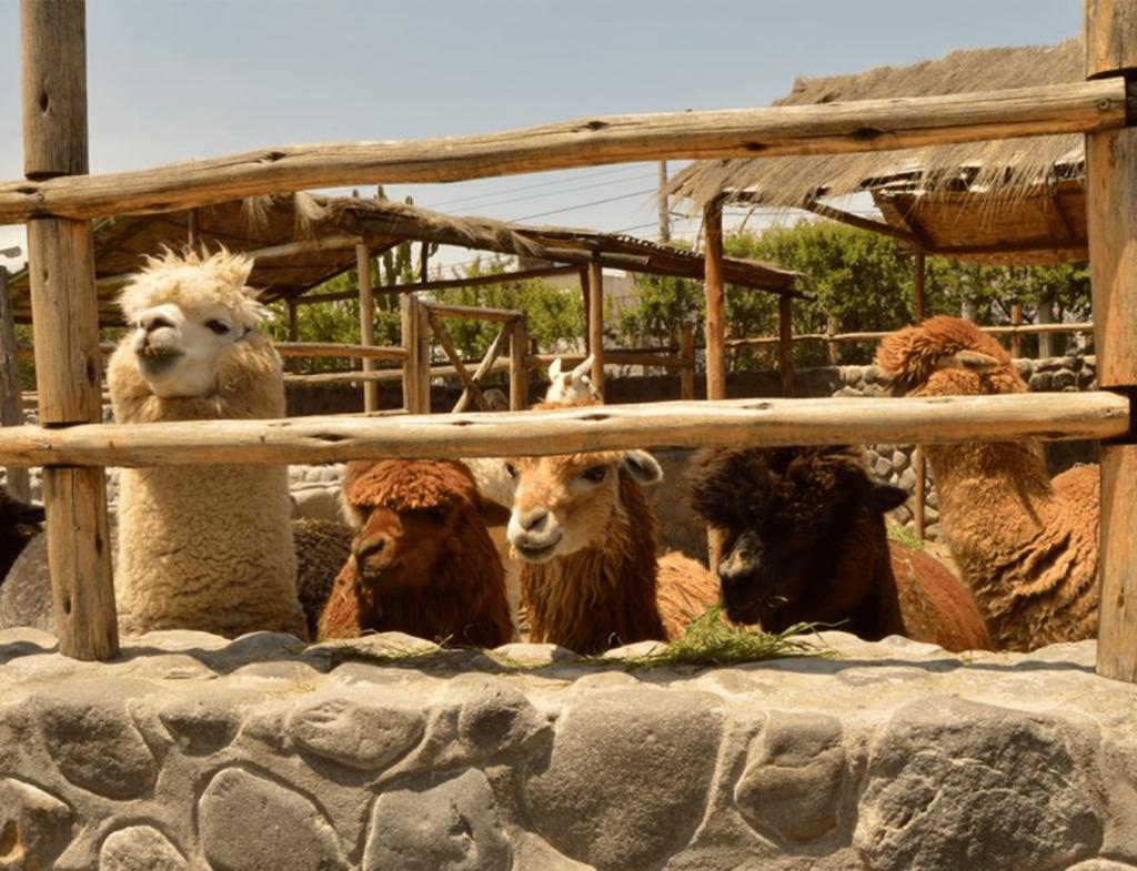 inkaikus alpaki